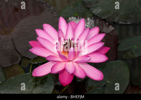 Nymphaea Pubescens Willd Nymmphaeceae, Water lily in a botanical garden pond, showing reflection, Nymphaea species. - Stock Photo