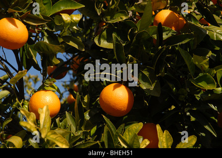 close-up of ripe oranges on tree, Javea / Xabia, Alicante Province, Comunidad Valenciana, Spain - Stock Photo