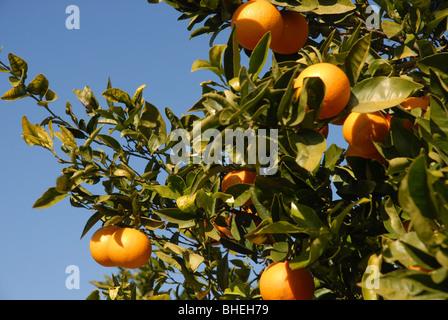 oranges on tree, Javea / Xabia, Alicante Province, Comunidad Valenciana, Spain - Stock Photo