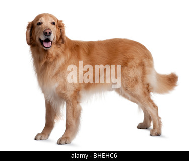 Hovawart dog, 7 years old, standing in front of white background - Stock Photo