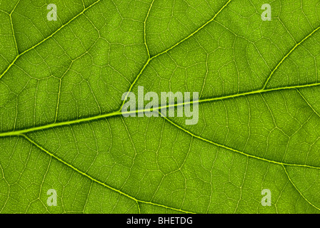 Avocado leaf structure lit up from behind with a flash gun - Stock Photo
