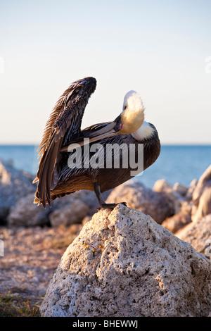 Brown Pelican (Pelecanus occidentalis) preening itself on rocks along the coastline on Grassy Key in Marathon, Florida