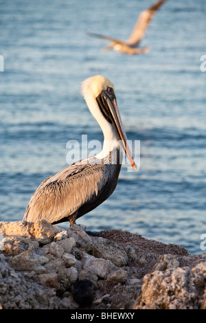 Brown Pelican (Pelecanus occidentalis) perched on rocks along the coastline on Grassy Key in Marathon, Florida - Stock Photo