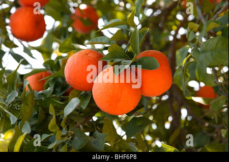 Fresh, ripe oranges growing on tree in Marrakech, Morocco. - Stock Photo