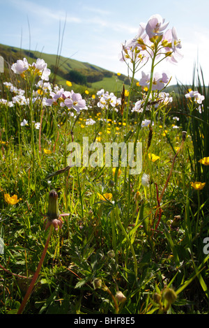Lady's Smock or Cuckoo Flower (Cardamine pratensis). Flowering in a wet meadow on an Organic Farm. Powys, Wales. - Stock Photo