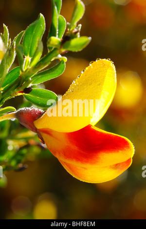 Flowers of Common Broom (Cytisus scoparius) a bi-coloured form. Powys, Wales. - Stock Photo