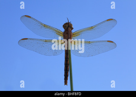 Keeled Skimmer Dragonfly (Orthetrum coerulescens) roosting in the morning after a dewy night. Powys,Wales, UK. - Stock Photo