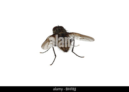 House fly (family Muscidae). Live insect photographed against a white background on a portable studio. - Stock Photo