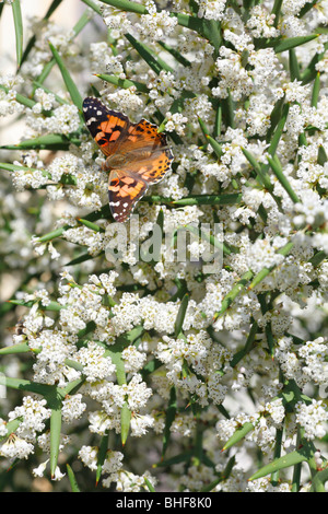 Painted Lady butterfly (Vanessa cardui) feeding on the spiny shrub Colletia spinosissima in a garden. Powys, Wales.