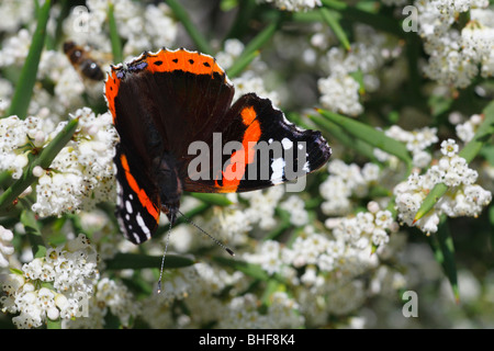 Red Admiral Butterfly (Vanessa atalanta) feeding on the spiny shrub Colletia spinosissima in a garden. Powys, Wales. - Stock Photo
