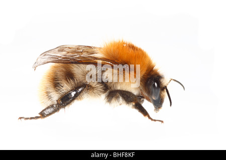 Common Carder Bumblebee (Bombus pascuorum) queen. Live insect photographed against a white background on a portable - Stock Photo
