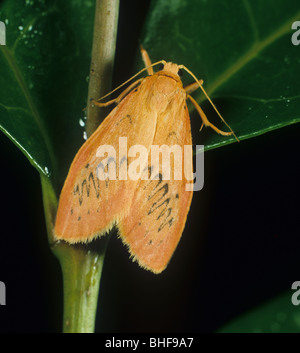 Rosy footman (Miltochrista miniata) moth - Stock Photo
