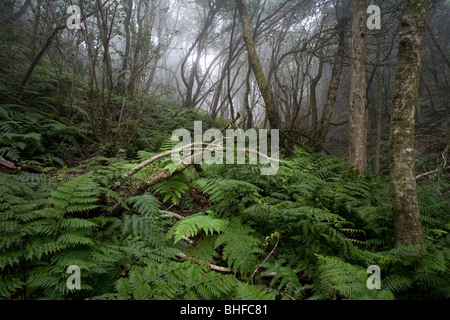 Ferns in the laurel forest, Anaga mountains, Parque Rural de Anaga, Tenerife, Canary Islands, Spain, Europe - Stock Photo