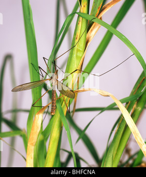 Crane-fly (Tipula oleracea) adult on grass - Stock Photo