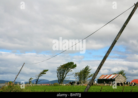 Cows out at feed in front of trees in the wind, Mizen Head Peninsula, County Cork, southwest coast, Ireland, Europe - Stock Photo