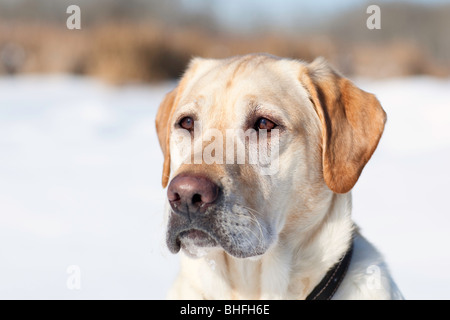 Adult male Yellow Labrador retriever in a winter setting.  Assiniboine Forest, Winnipeg, Manitoba, Canada. - Stock Photo