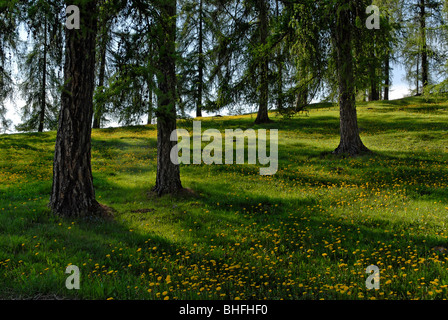 Flower meadow beneath conifers, South Tyrol, Italy, Europe - Stock Photo