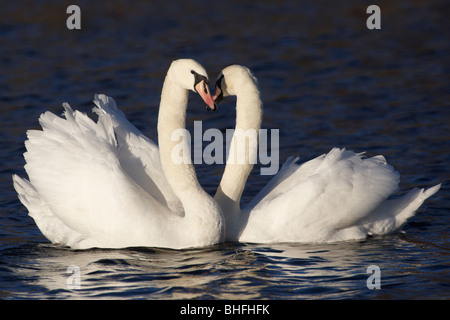 Mute swans (Cygnus olor) displaying, Norfolk, England, United Kingdom Stock Photo