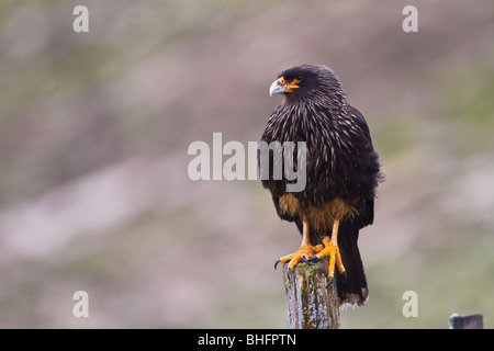 A Striated Caracara (Phalcoboenus austrails) perches atop a fence post on West Point Island in the Falkland Islands - Stock Photo