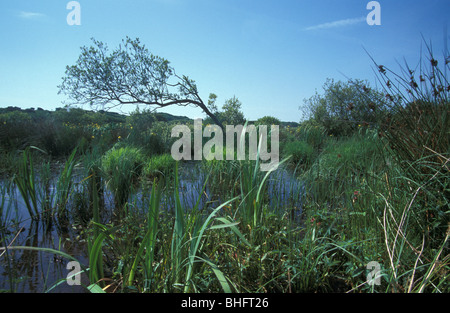 Yellow Iris in ponds at Sandscale Haws National Nature Reserve Cumbria - Stock Photo