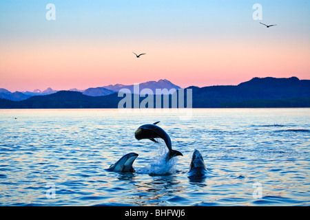Pacific White Sided Dolphins in Johnstone Strait off Northern Vancouver Island, British Columbia, Canada. - Stock Photo