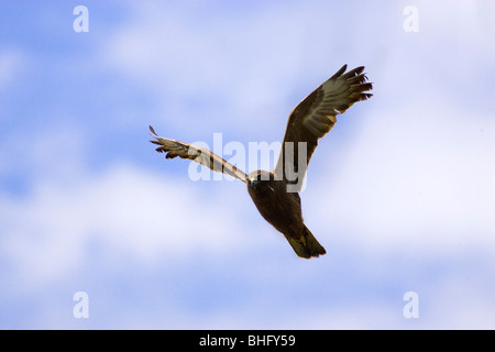 A Swamp Harrier (Circus approximans) in flight above Herdsman Lake Reserve, Perth, Western Australia - Stock Photo