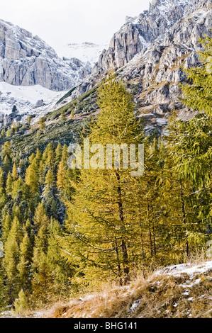 Conifers, snow-covered Dolomites in background, Trentino-Alto Adige/Suedtirol, Italy - Stock Photo