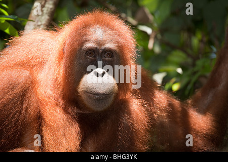 Orangutan in sumatra - Stock Photo