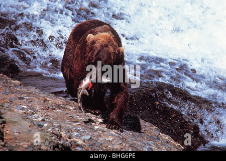 bear catching salmon Alaska - Stock Photo