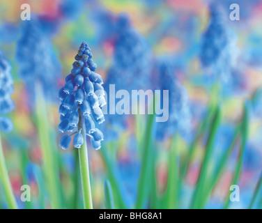 grape hyacinths - Stock Photo
