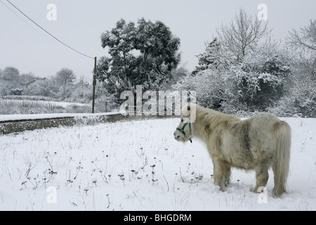 White Shetland Pony grazes in a snow covered field. - Stock Photo
