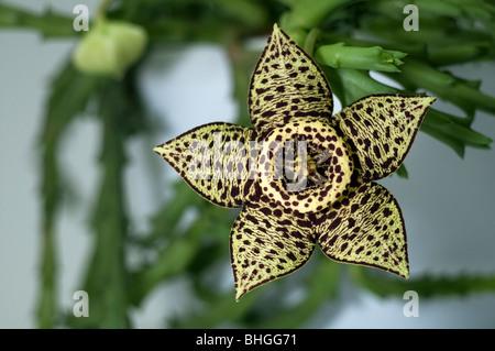 Carrion Flower (Stapelia variegata, Orbea variegata), flower. - Stock Photo