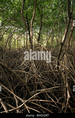 Tangled roots of Mangrove Trees on Tabago coastline - Stock Photo