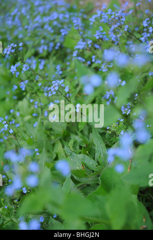 Field of Forget me not flowers - Stock Photo