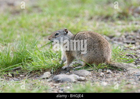 Columbian Ground Squirrel (Urocitellus columbianus, Spermophilus columbianus) eating grass. - Stock Photo