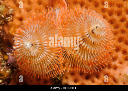 Christmas tree worm (Spirobranchus giganteus) in coral head. Isla Mujeres, Mexico - Stock Photo