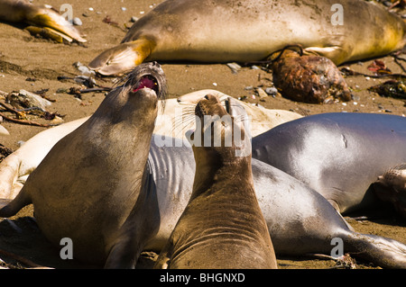 Elephant Seals (Mirounga angustirostris), Monterey Bay National Marine Sanctuary, San Simeon, California - Stock Photo