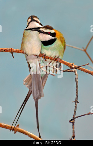 White-throated Bee-eater ( Merops albicollis ). These migratory birds feed on bees, wasps, hornets and other insects. - Stock Photo