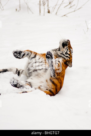 Siberian tiger rolling in the snow - Stock Photo
