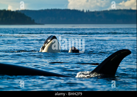 3 Orca whales (Killer whales, Orcinus orca), two of them spyhopping, near Vancouver Island, British Columbia, Canada. - Stock Photo