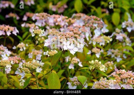 Hydrangea serrata - Stock Photo