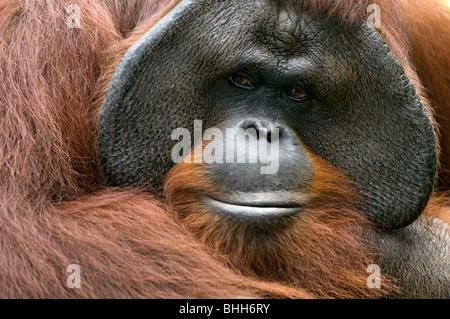 An orang-utan, close-up, Indonesia. - Stock Photo