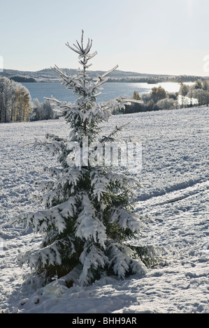 Snow covered fir tree in winter, sweden. - Stock Photo