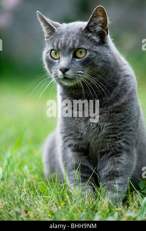 A grey cat in the grass, Sweden. - Stock Photo