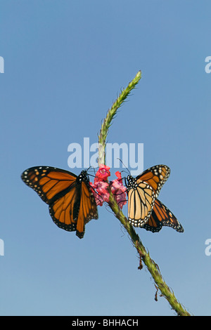 Butterfly on a flower, USA. - Stock Photo