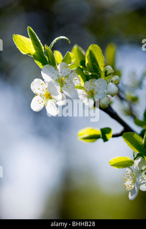 Apple-blossoms in the evening light, Sweden. - Stock Photo