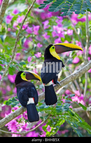 Two Chestnut-mandibled Toucans, Costa Rica. - Stock Photo