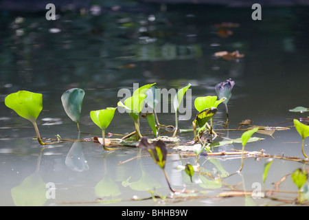 Aquatic plants above the surface of water, Costa Rica. - Stock Photo