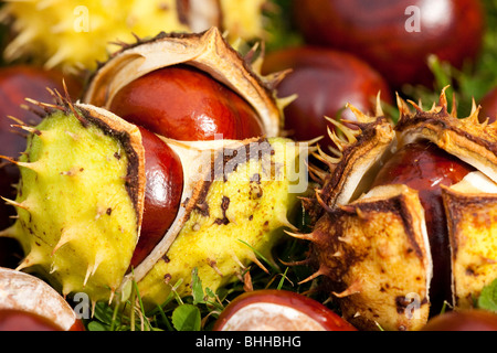 horse chestnuts / conkers - Stock Photo
