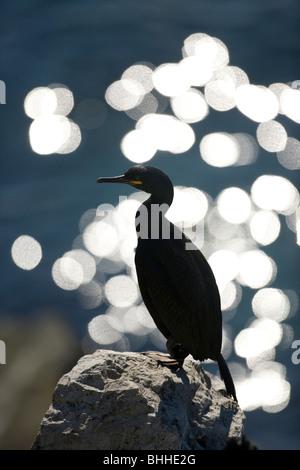 An European Shag against the light, Norway. - Stock Photo
